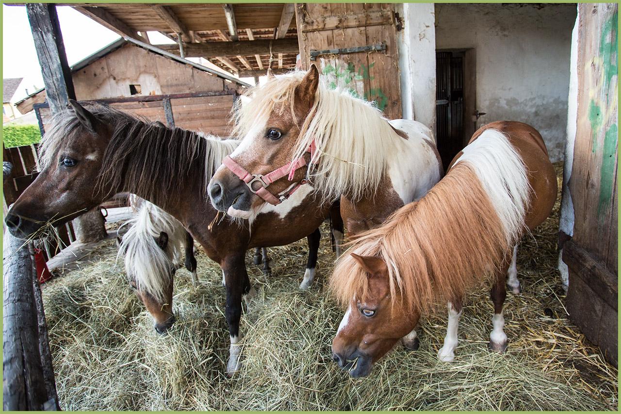 Die Ponys in ihren Ställen